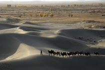 A man leads camels at the edge of the Taklamakan Desert in Xinjiang Uighur Autonomous Region