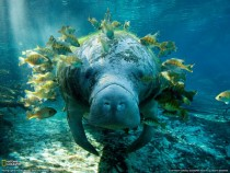 A Manatee and his many Fish Friends Photographed By Yusuke Okada
