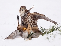 A merlin Falco columbarius pauses during his dinner of snipe in northern England Steve Mills