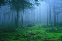 A mist envelops Deodar forest in Himachal Pradesh India
