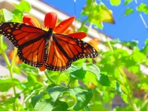 A Monarch butterfly danaus plexippus basking in the sun -