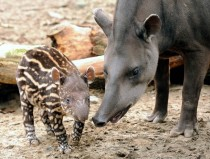 A month old tapir stands with his mother Lille Zoo France