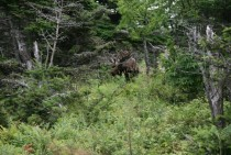 a Moose alces alces in the Cape Breton Highlands Nova Scotia CA