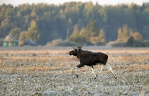 A moose runs in a field during a frosty autumn morning near the village of Astanovka north of Minsk in a remote corner of Belarus Vasily Fedosenko