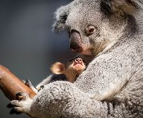 A mother Koala and her baby