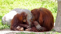 A Mother Orangutan listening to her childs story