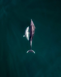 A mothers love Captured these Common Dolphins with my drone off the coast of Malibu a few weeks ago