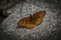 A mountain butterfly resting on a rock