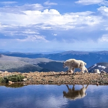 A Mountain Goat near the summit of Mount Evans Colorado OC