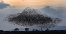 A murmuration of starlings put on a display near the town of Gretna Scotland  November  Starlings visit the area twice a year in the months of February amp November photo by Owen Humphreys