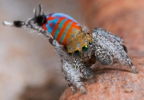 A new species of peacock spider nicknamed Sparklemuffin by the graduate student who discovered it performs a leg-waving mating dance Photo by Jurgen Otto