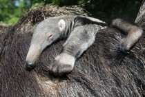 A newborn Anteater baby relaxes on its mothers back at Bergzoo Halle Germany