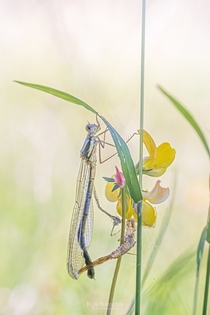 a newly emerged damselfly