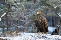 A Norwegian Golden Eagle - Aquila chrysaetos