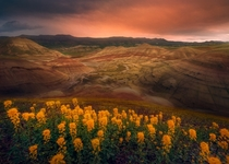 A once in a decade super bloom in arid central Oregon - Painted Hills OR