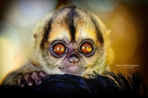 A once stranded baby monkey This little guy has a pair of super beautiful eyes Amazon Ecuador
