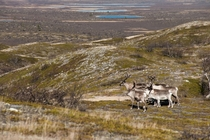 A pack of reindeers at the Pyrisjrvi wilderness area Finland