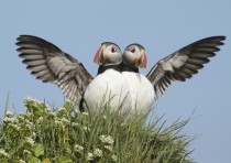 A pair of Atlantic Puffin photographed in Iceland