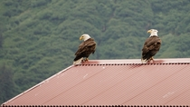 A pair of bald eagles perched on a roof in Southeast Alaska