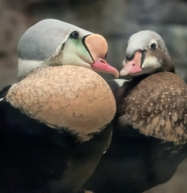 A pair of Eiders on the coast of Labrador photographed by Monique Lagu