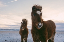 A pair of Icelandic horses  Photographed by Julian Bialowas
