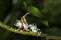 A pair of red-eyed tree frogs sheltering themselves from the rain  Photographed by Kutub Uddin