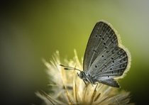 A Pale Blue Grass Butterfly at sunset