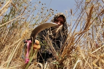 A Palestinian woman harvests wheat and barley in the Gaza Strip