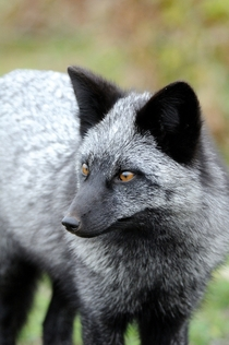 A particularly majestic-looking silver fox photo by Matt Knoth