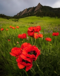 A patch of bright red Poppies found in Boulder CO