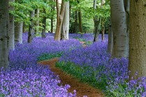 A path through the bluebell wood at Coton Manor Northamptonshire England