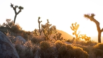 A peaceful golden morning glow shining through the stunning Joshua Trees and Teddy-bear Cholla Joshua Tree National Park liamsearphoto