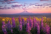 A peaceful morning in the Columbia River Gorge WA looking out at Mt Adams surrounded by wildflowers and  degree views