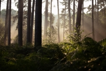 A peaceful morning in the forest - Cannock Chase Staffordshire UK