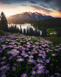 A perfectly placed bunch of Wild Asters Lake Irwin - Colorado