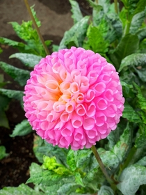 A perfectly round dahlia