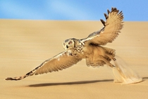 A pharaoh owl glides over the desert sand
