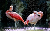 A pic of two flamingos in the rain