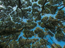 A Picture I Snapped of the Forest Canopy in Coromandel New Zealand  I believed the trees are called ti-tree here