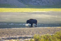 A picture I took of an American Bison at dawn a few years ago in Yellowstone National Park