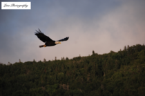 A picture of a bald eagle I took this summer on Bras DOr lake in Nova Scotia Apology as the quality isnt the greatest since its a screenshot  x