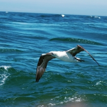 A picture of a young Gannet I took please forgive the finger at the bottom if the picture it was my first time doing photography out at sea