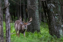 A picture-perfect whitetail buck I saw in Shenandoah National Park Virginia
