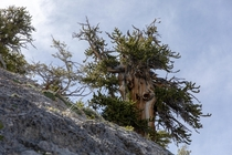 A picturesque ancient Great Basin bristlecone pine growing on steep rough limestone in the White Pine Range of eastern Nevada Individuals of this species have been found to be the worlds oldest non-clonal organisms and can reach ages over  years