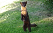 A pine marten standing to attention Martes martes -