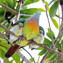A pink-necked green pigeon Treron Vernans caring for its chicks