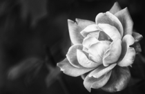 A Pink Rose in Black and White