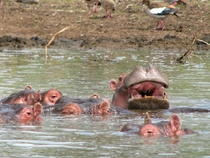 A pod of hippos on Lake Naivasha Kenya