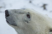 A polar bear Ursus maritimus up close