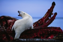 A polar bearUrsus maritimus feeds on the jaws of a bowhead whaleBalaena mysticetus by Joel Sartore